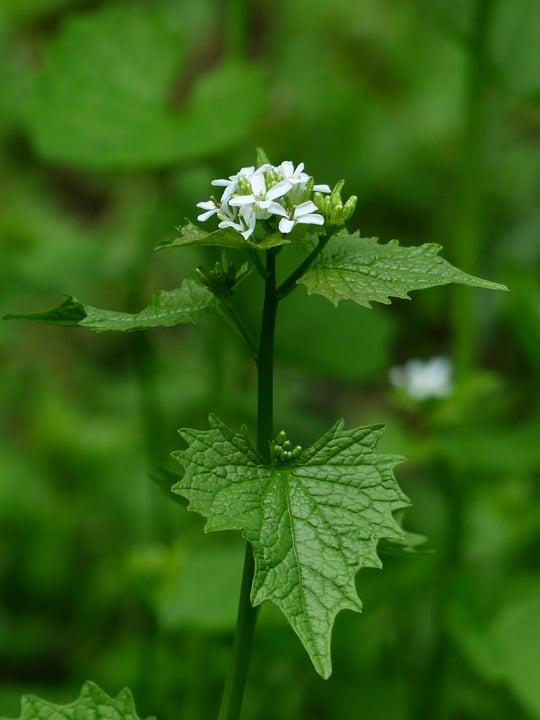 Alliaria-foglie-fiore