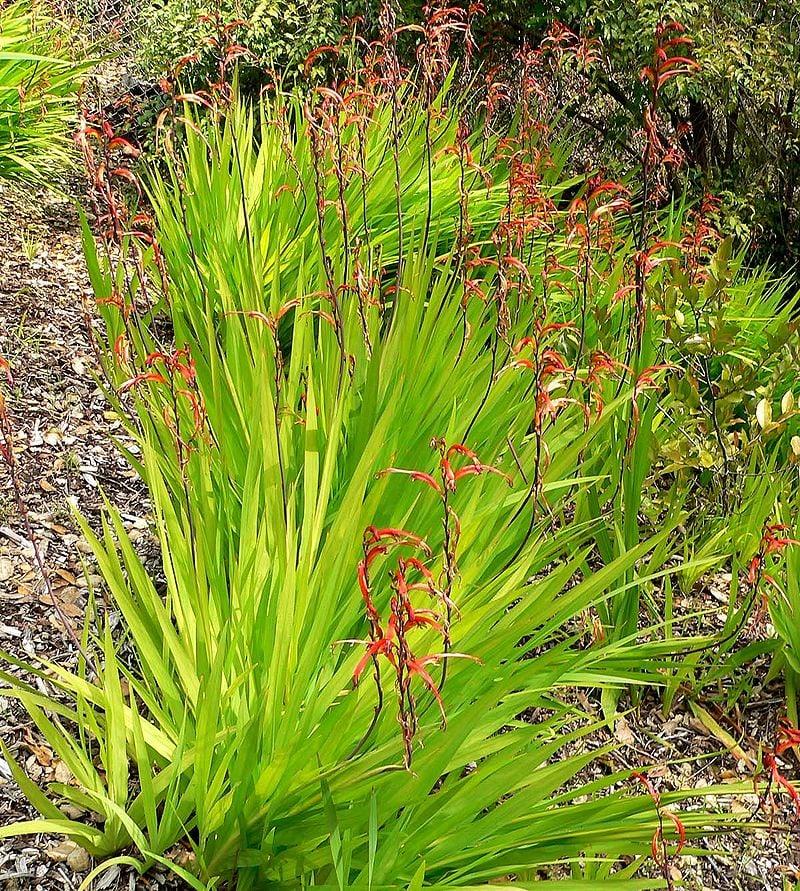 Chasmanthe-floribunda-coltivazione
