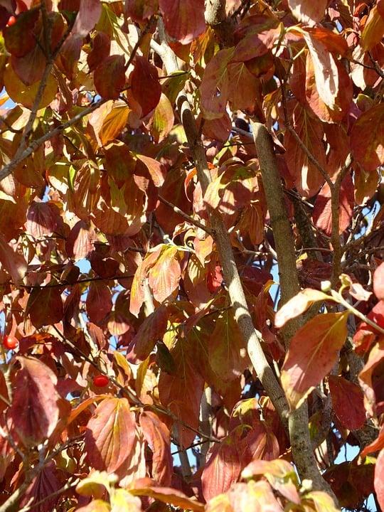 Corniolo-Sanguinello-foglie d'autunno