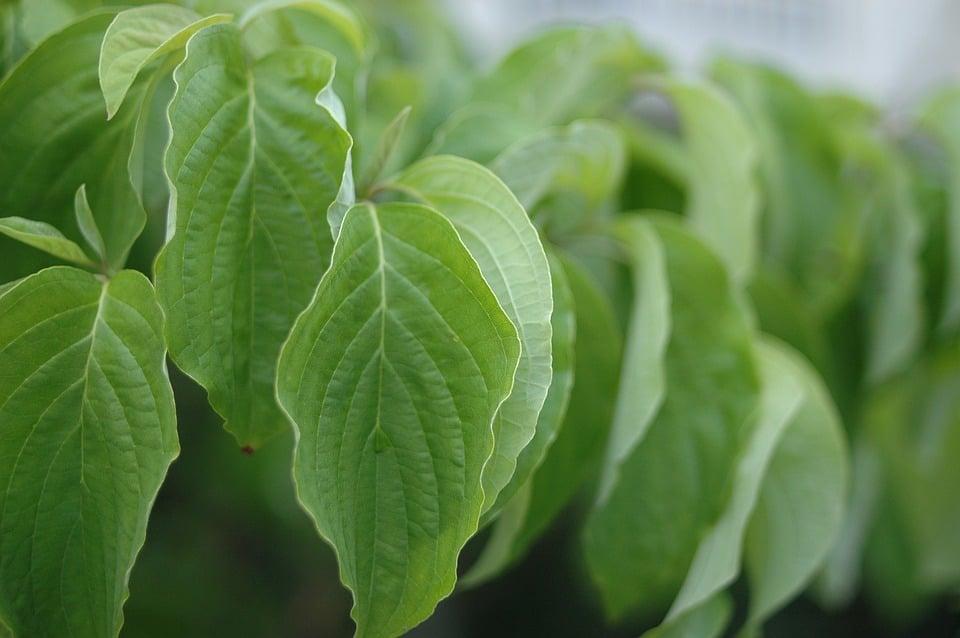 Corniolo sanguinello-foglie