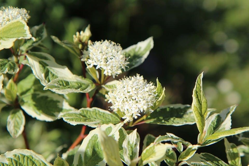 Corniolo-variegato
