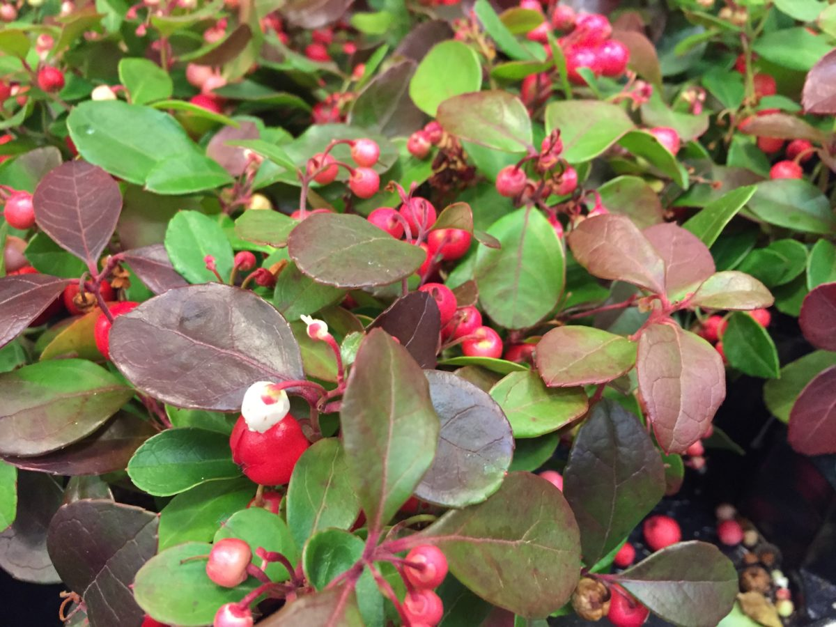 Pianta Foglie Rosse E Verdi gaulteria gaultheria coltivazione