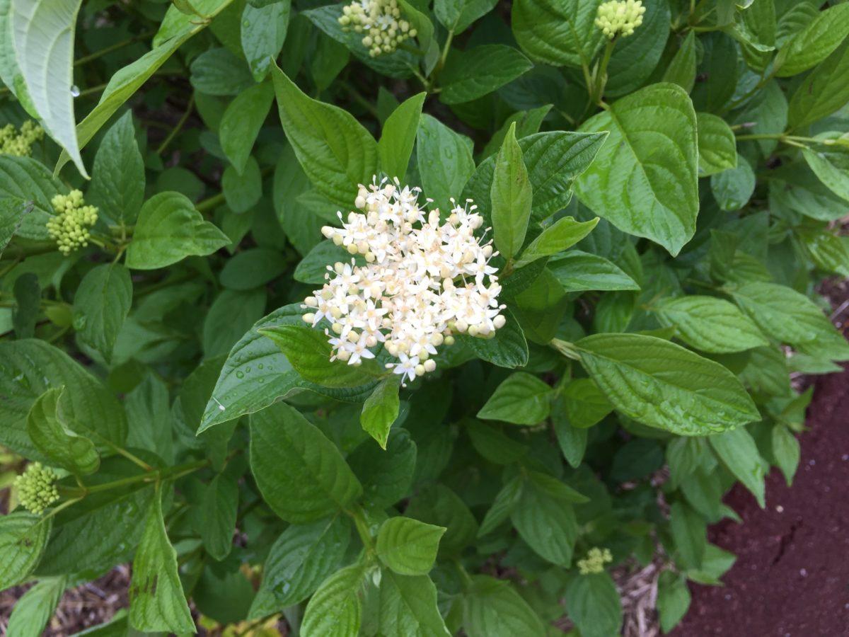 Corniolo sanguinello-fiore