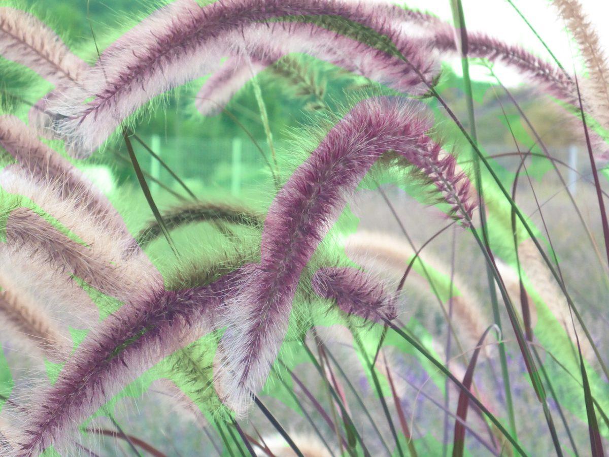Pennisetum-varietà