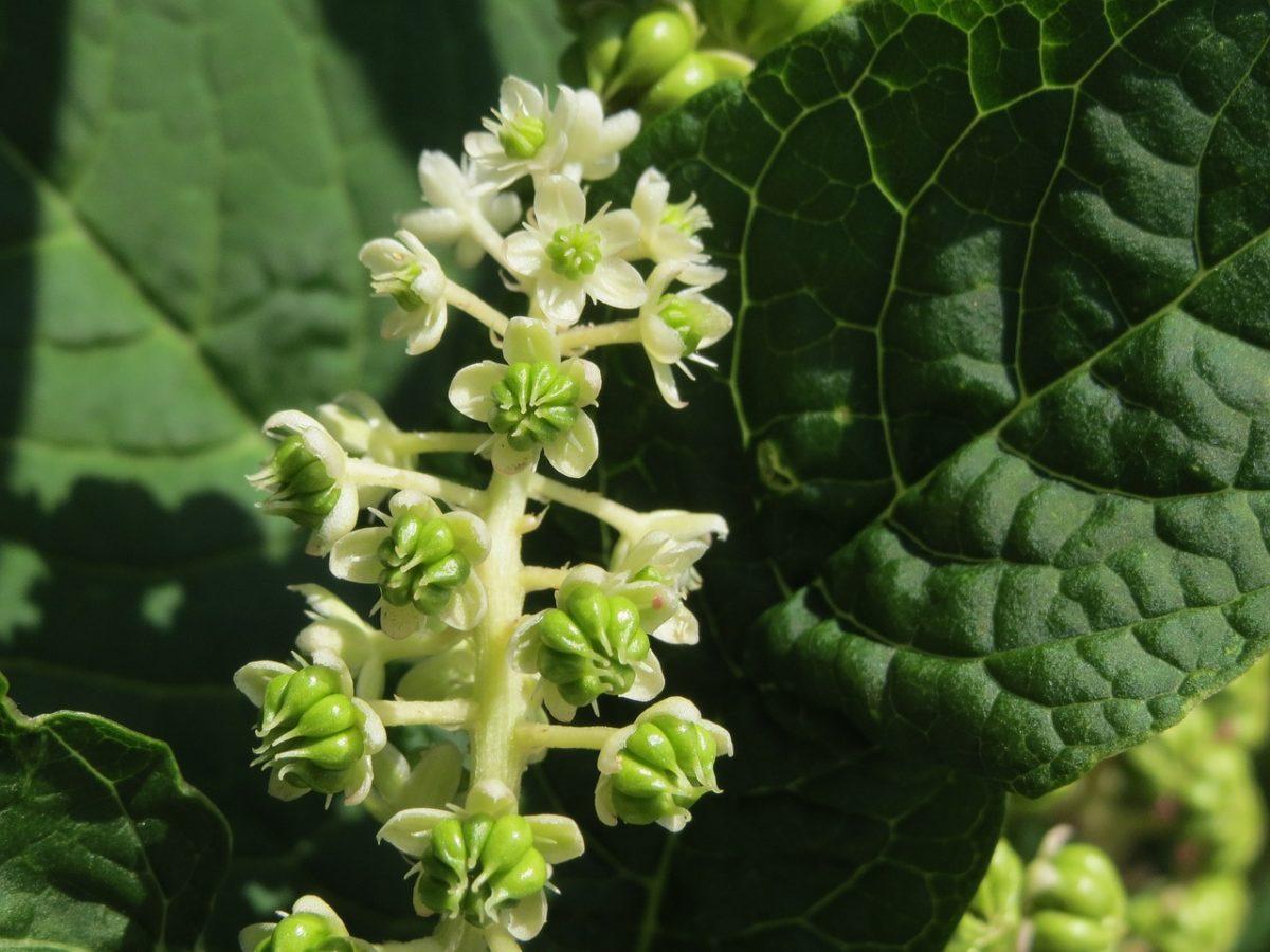Phytolacca americana-fiori