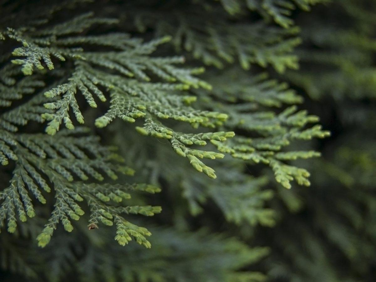 Thujopsis dolabrata -foglie