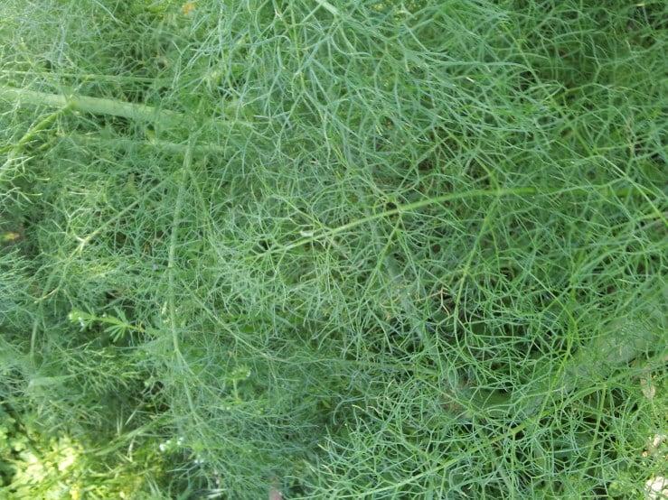 Ferula-Ferla-foglie