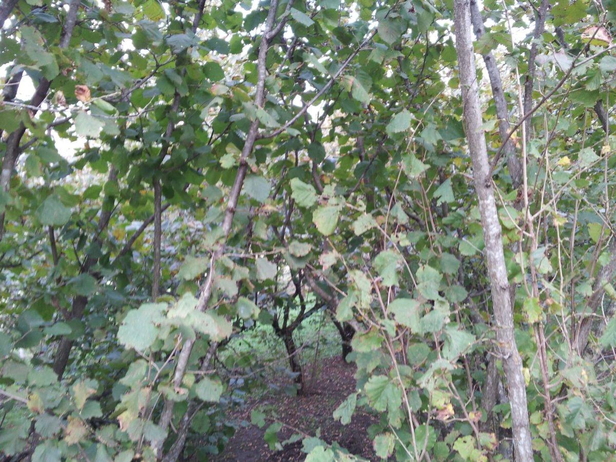 Nocciolo-foglie