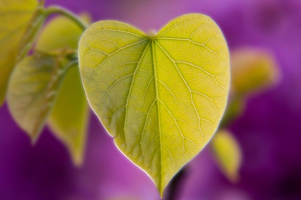 Cercis-Redbud-foglie
