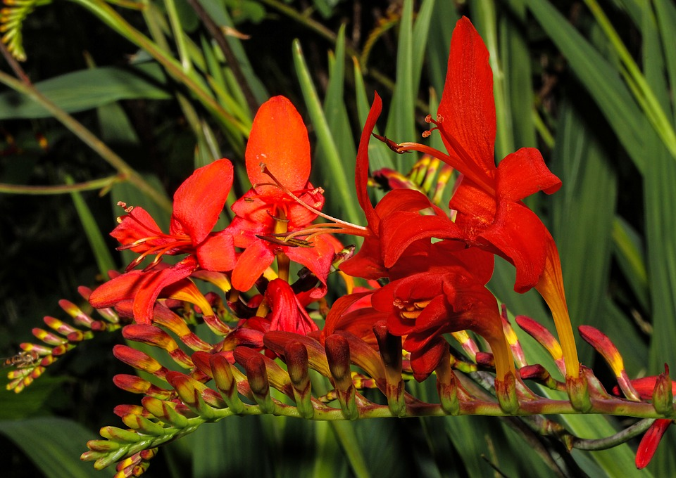 Crocosmia-fiori rossi