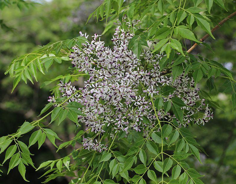 Melia-azedarach-fiori
