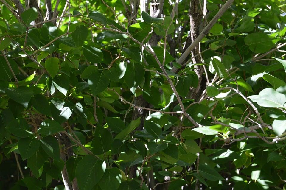 Melia-foglie
