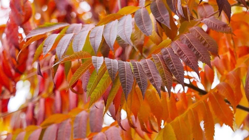 Sommacco-foglie