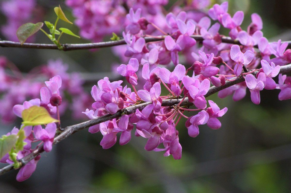 Cercis canadensis-fiori-foglie