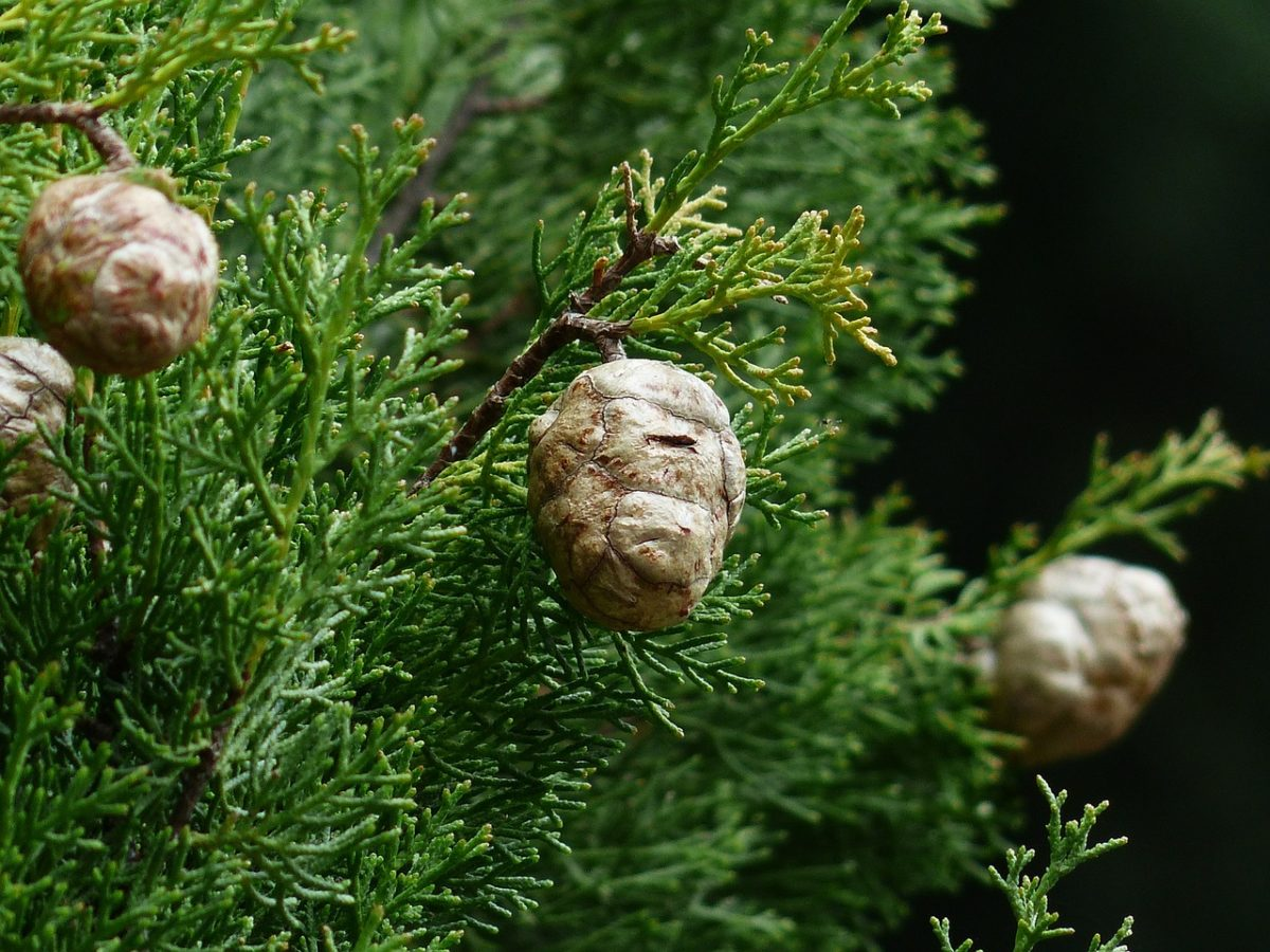 Cupressus-sempervirens-frutti