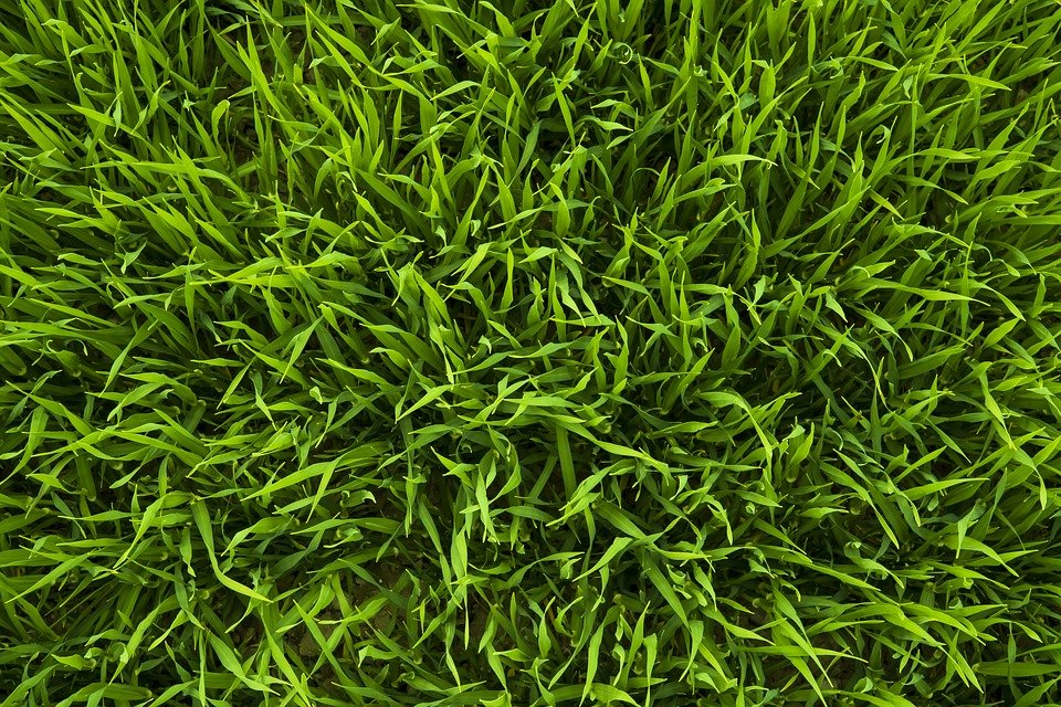 Agrostide-stolonifera-Agrostis