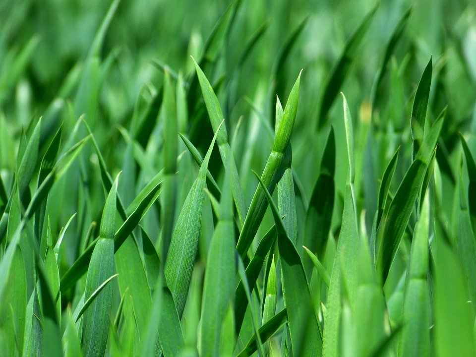 Agrostis stolonifera-foglie