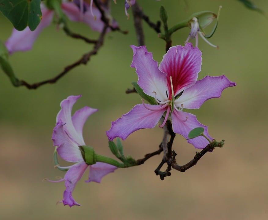 Bahuinia-purpurea