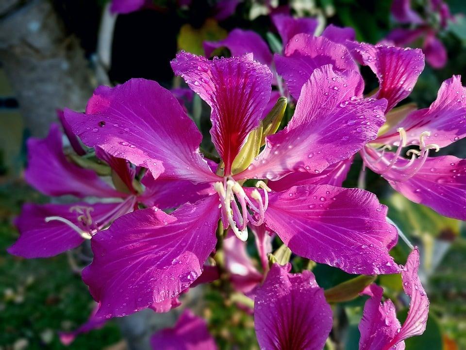 Bauhinia-Albero orchidea