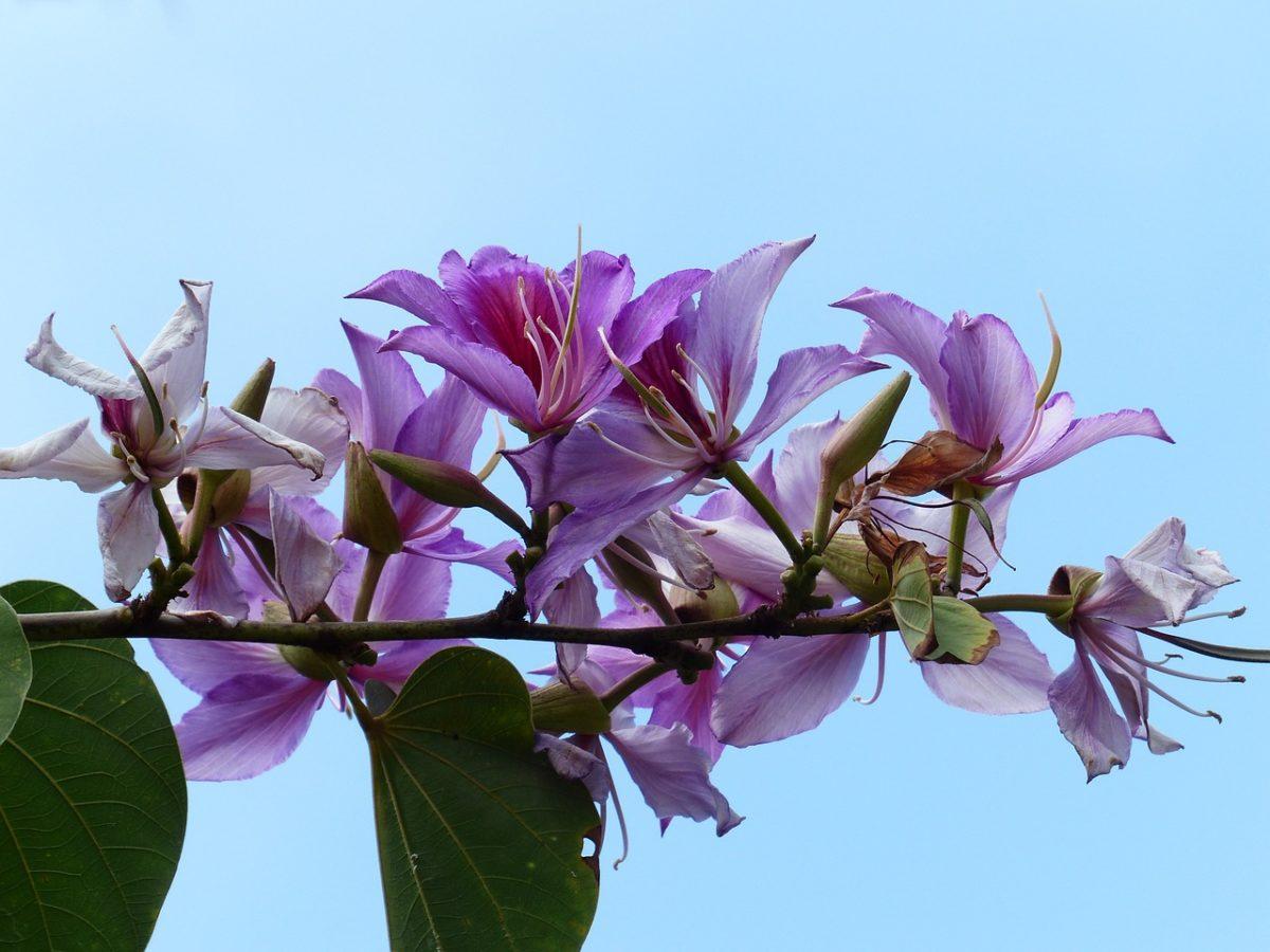 Bauhinia-varietà