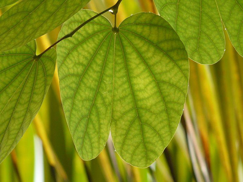 Bauinia- foglie