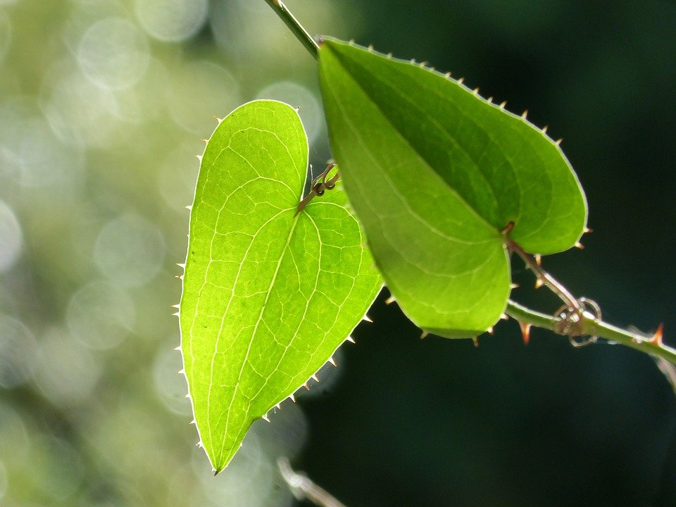 Salsapariglia-steli-foglie-Usi