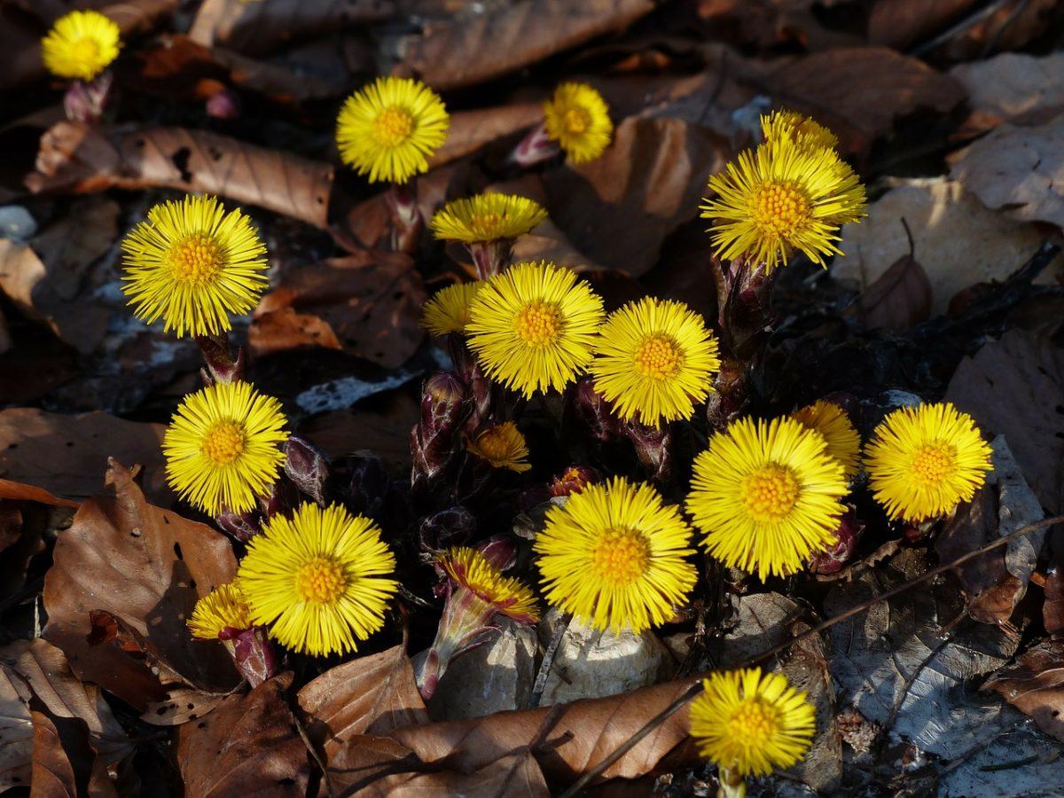 Farfaro-Tussilago farfara-fiori