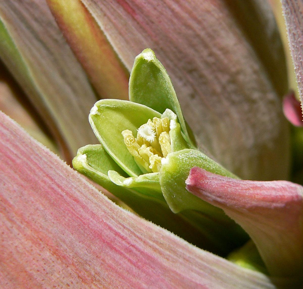 Beschorneria_yuccoides-fiore