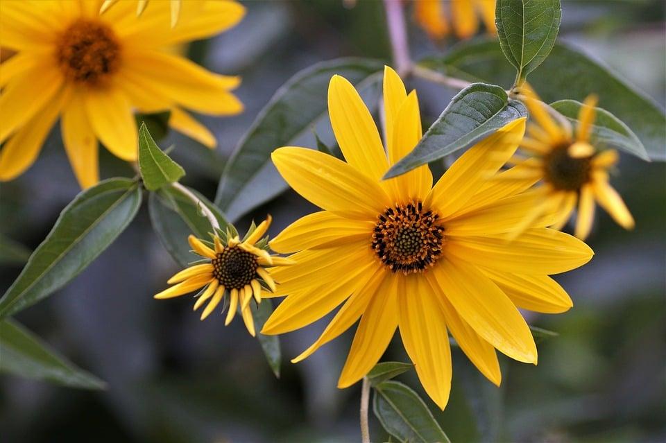 Heliopsis-eliantoides-fiori