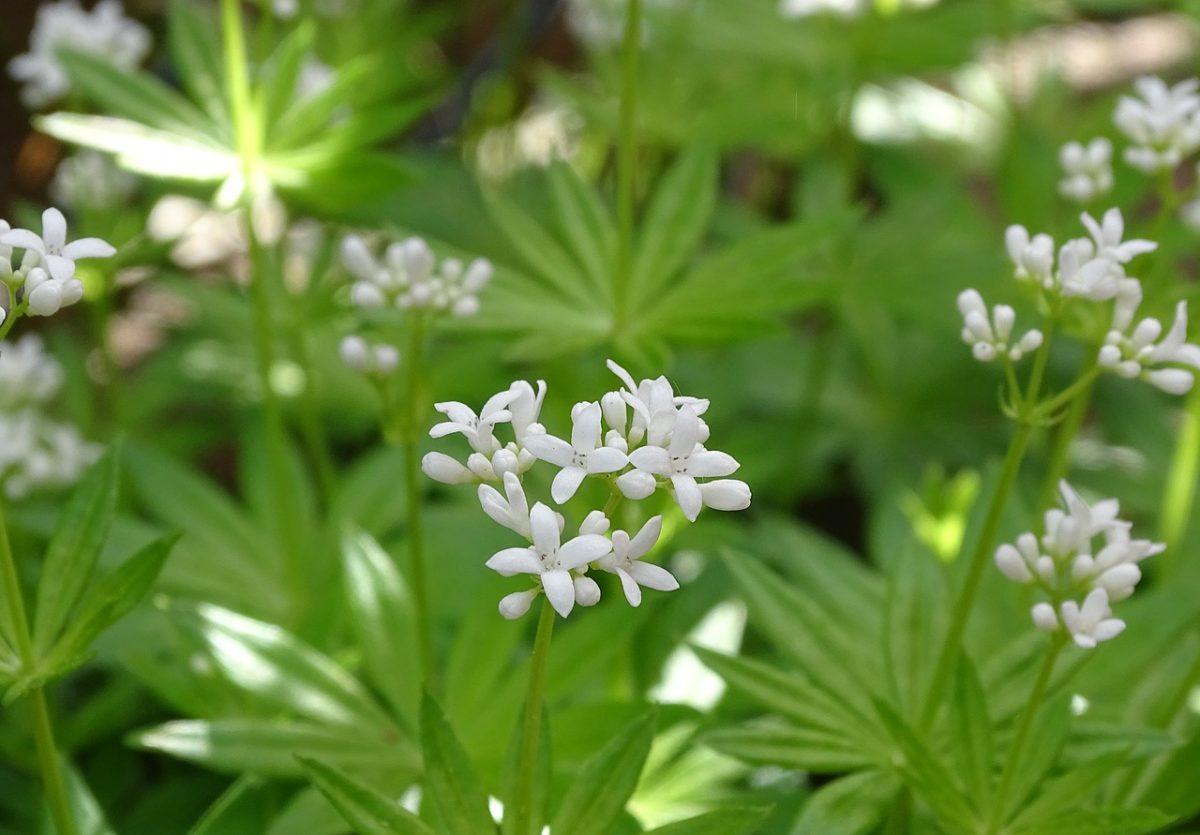 Asperula odorosa-Galium odoratum