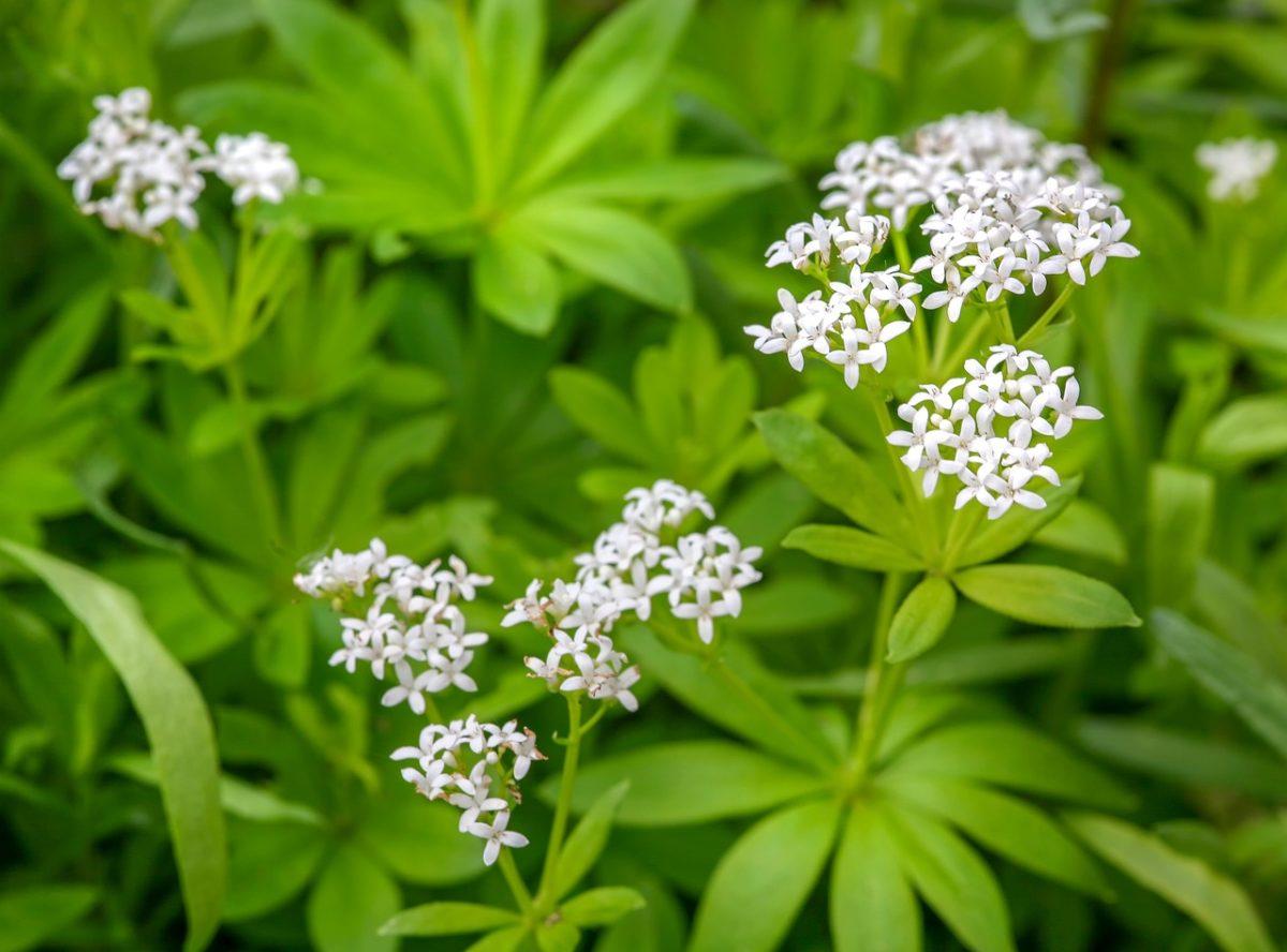 Asperula-Galium-fiori