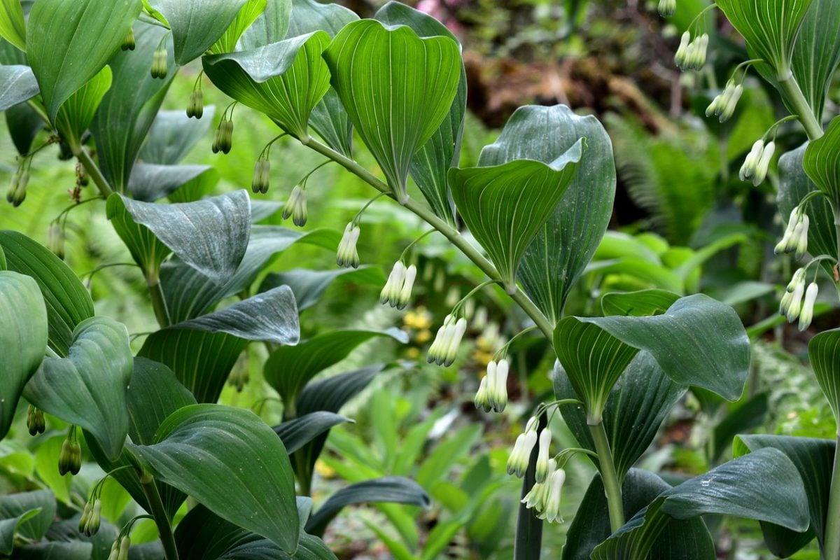 Sigillo di Salomone – Polygonatum odoratum