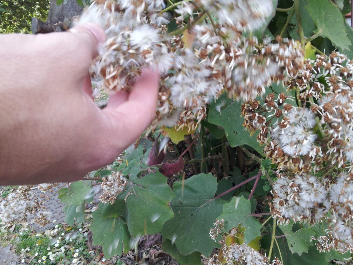 Senecio petasitis-semi-raccolta