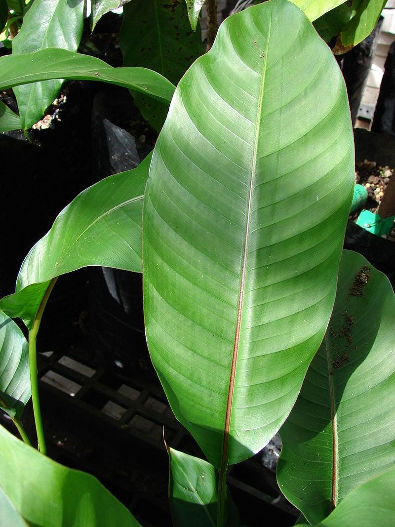 Heliconia-foglie