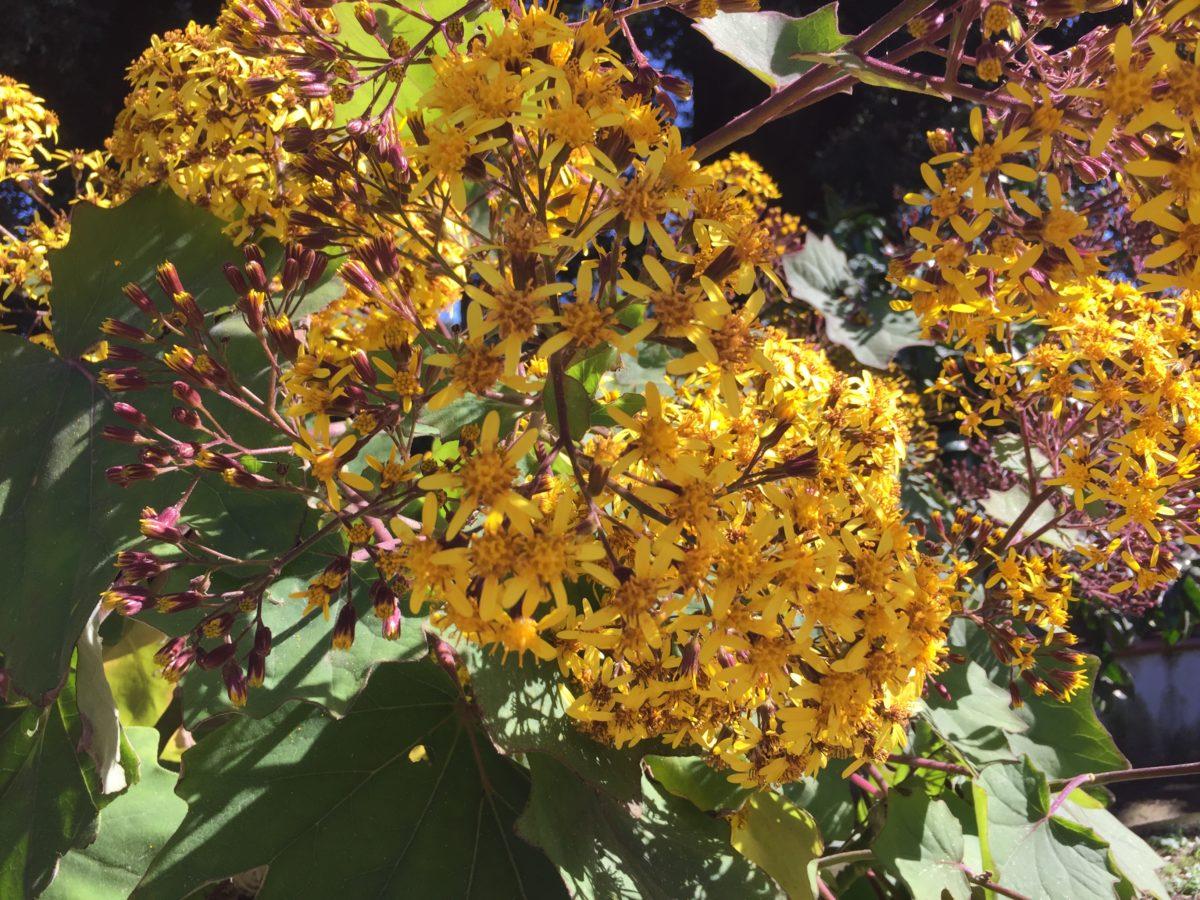 Senecio-petasitis-fioritura