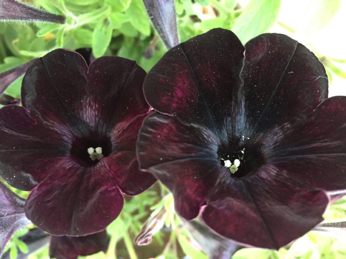 Potunia-fiori neri
