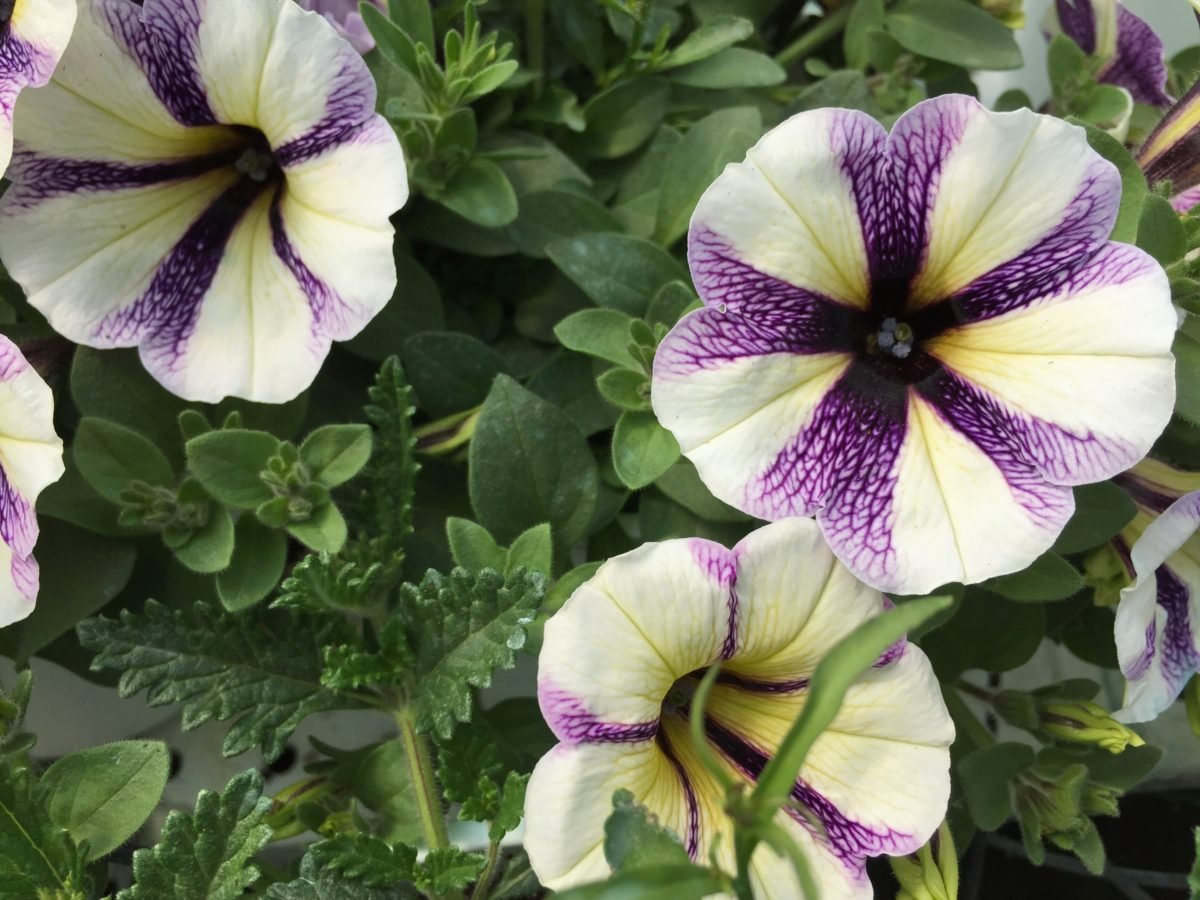 Potunia-fiori-screziati