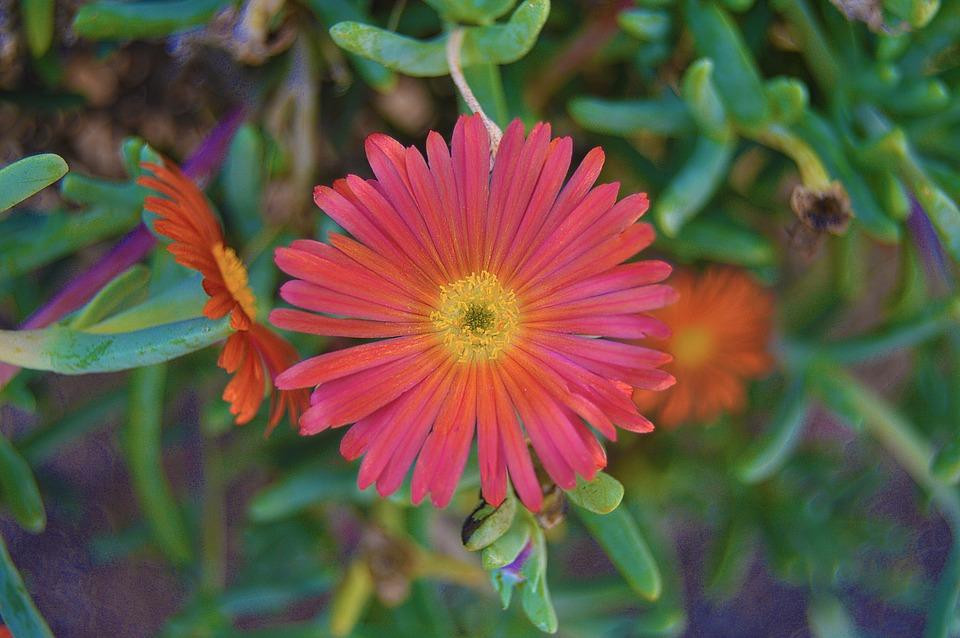 Lampranthus-potatura