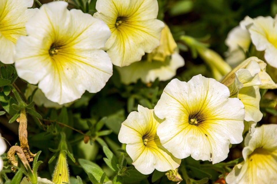 Potunia-ibrida-gialla