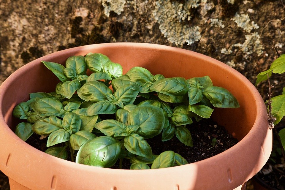 Basilico-coltivazione in vaso