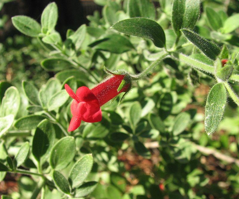 Galvezia-speciosa