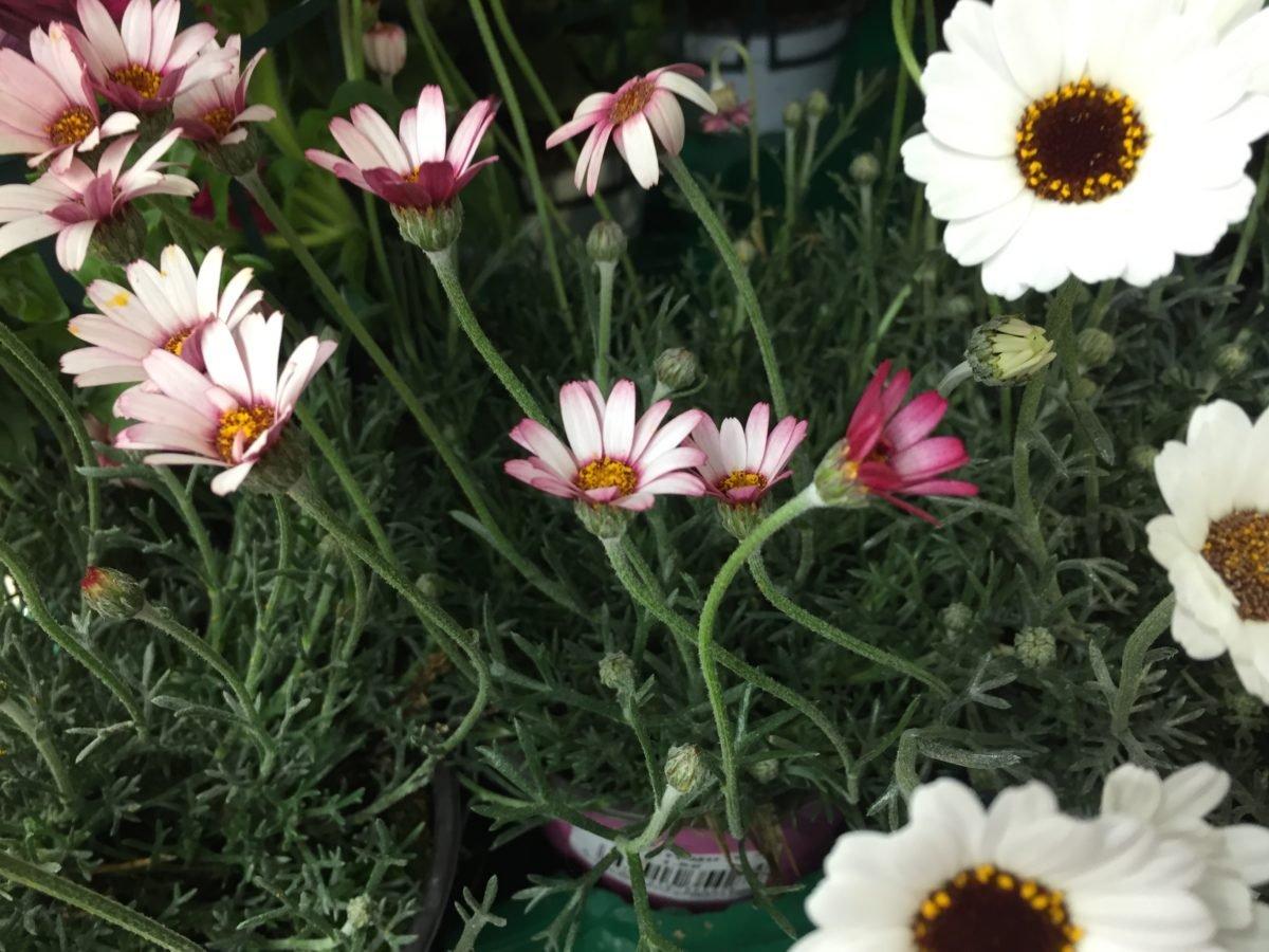 Rhodanthemum-fioritura