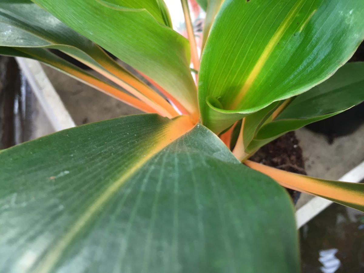 Chlorophytum amaniense-Moltiplicazione