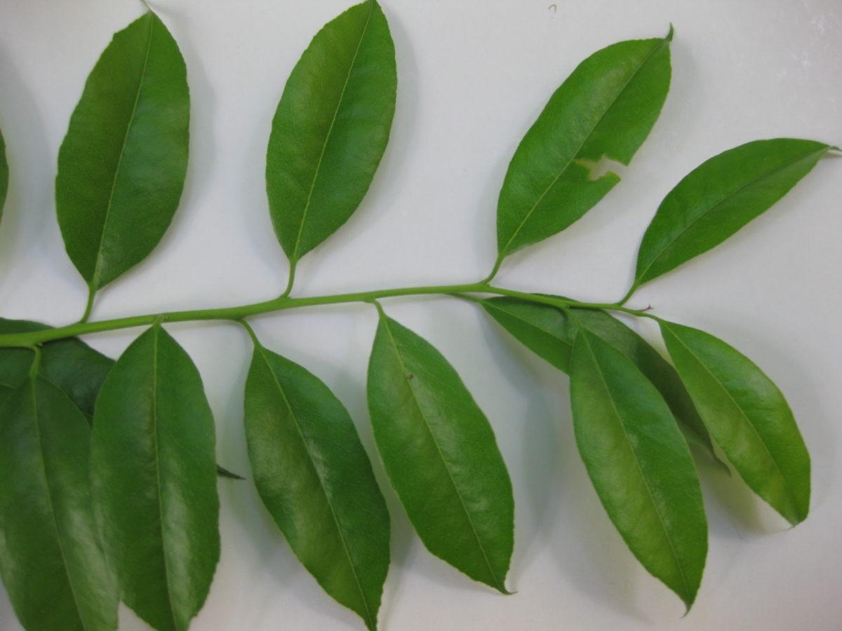 agarista-populifolia-foglie
