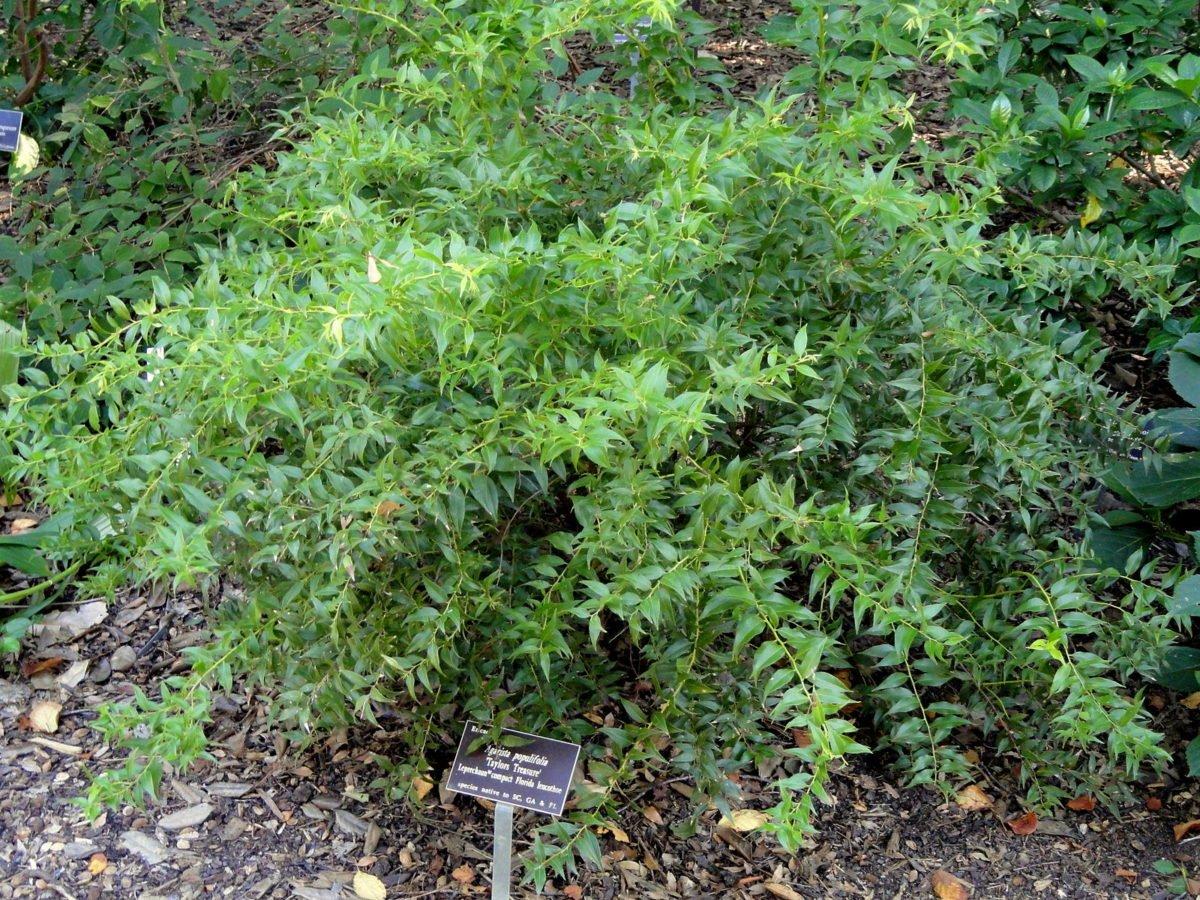 agarista-populifolia-pianta