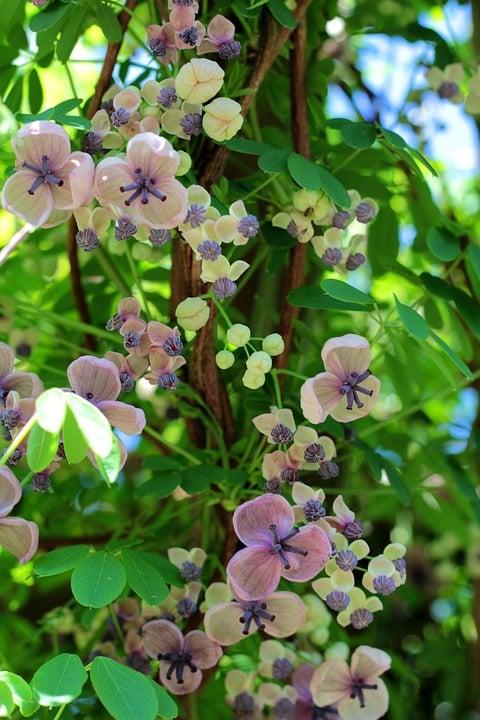 Akebia-quinata-coltivazione