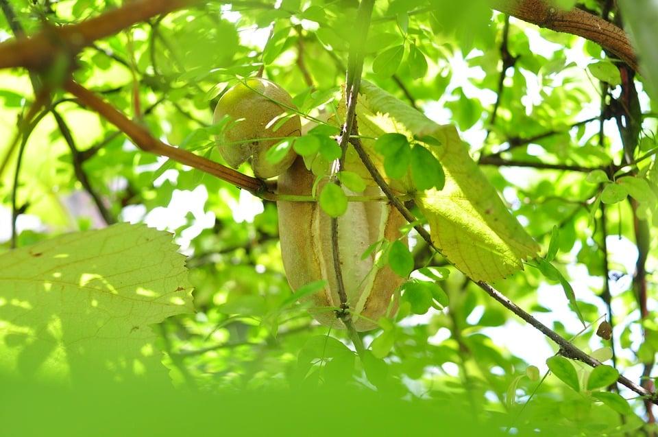 Akebia-quinata-frutti