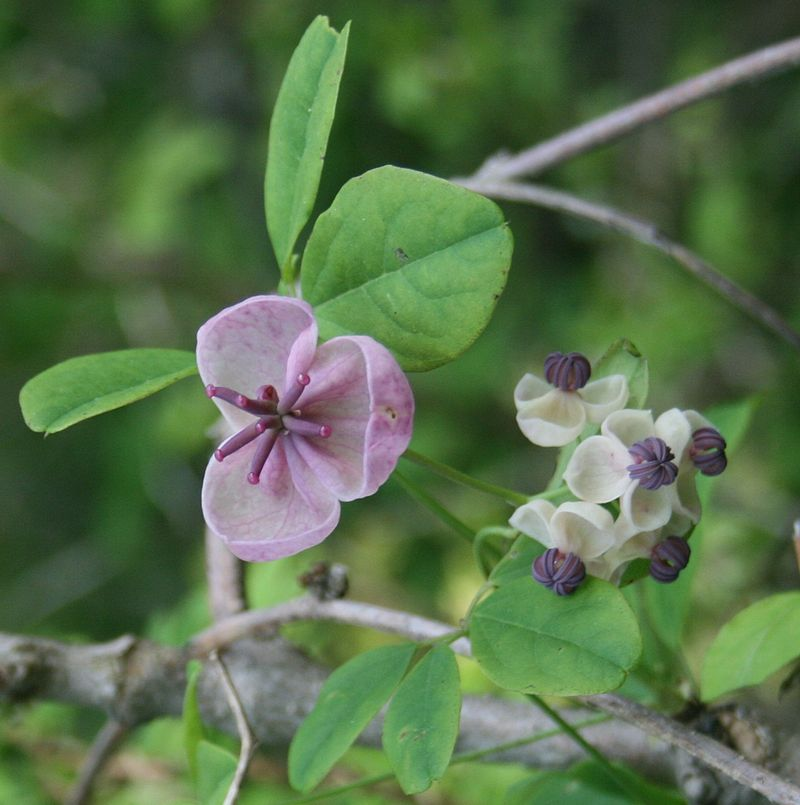 Akebia-quinata-potatura