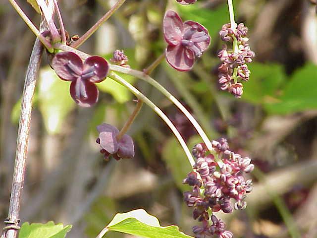 Akebia-trifoliata