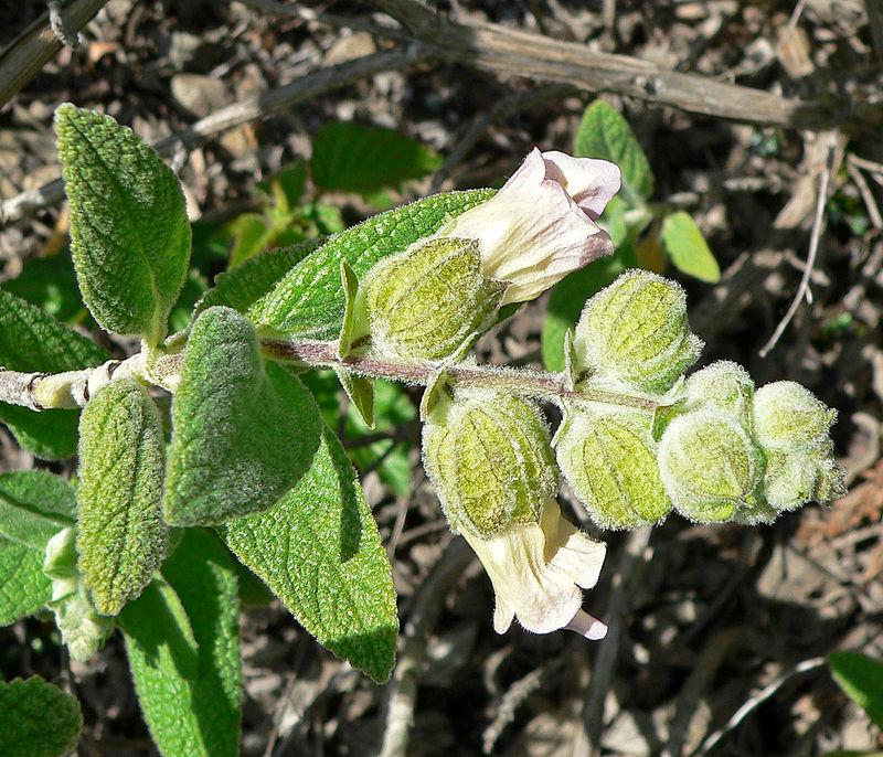 Lepechinia-calycina